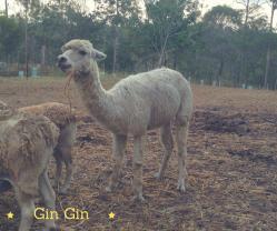 GinGin Alpaca