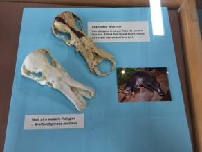 Comparing modern and ancient platypus skulls