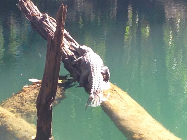 Gary the Freshwater crocodile