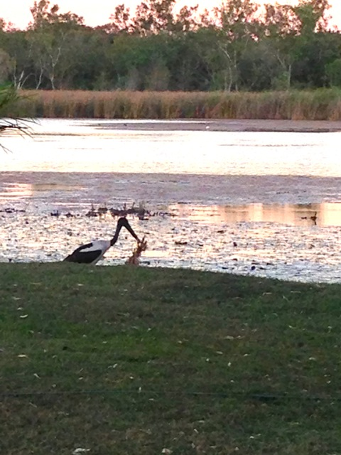 A Jabiru right on the van park lake edge!